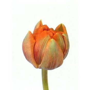 Тюльпаны Orange-Princess (ЕС, Россия) в упаковке 15 шт. Цена за 1 упаковку.