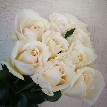 "Роза французская ""Крим Пьяже"" 50-70 см"