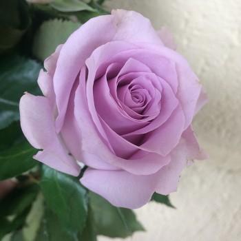 """Роза """"Ocean Song"""" 50-60 см (Импорт)"""