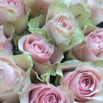 """Роза """"Pink Athena"""" 50-60 см (Импорт)"""