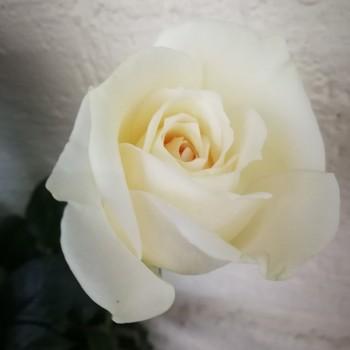"""Роза David Austin """"Крим Пьяже"""" 50-70 см"""