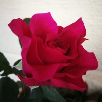 """Роза David Austin """"Мамми Блю"""" 50-70 см"""