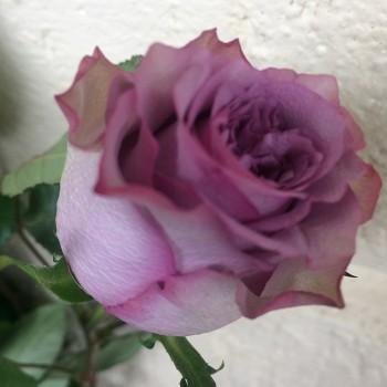 """Роза """"Dolcetto"""" 50-60 см (Импорт)"""