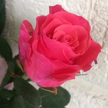 """Роза """"Pink Tacazzi"""" 50-60 см (Импорт)"""
