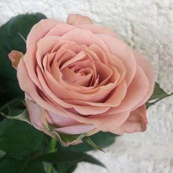 """Роза """"Cappuccino"""" 50-60 см (Импорт)"""