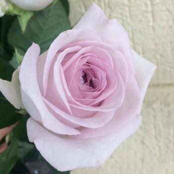 "Роза ""Bounty Way"" 50-60 см (Импорт)"