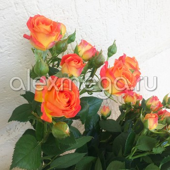 Роза кустовая Фиеста (Fiesta)