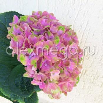 Гидрангея (Гортензия)