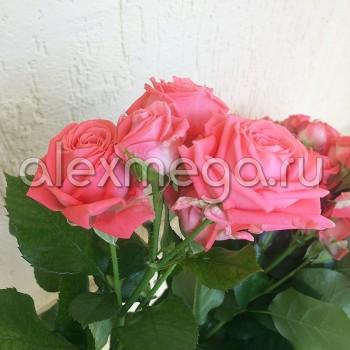 Роза кустовая Барбадос МИНИ (Barbados)