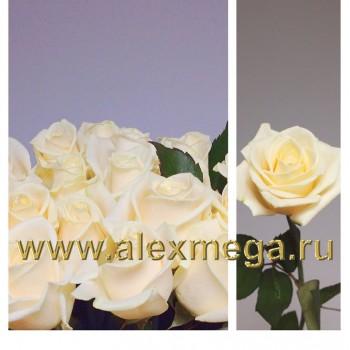 Роза российская 50-60 см.