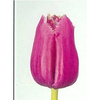 Тюльпаны Louvre (ЕС, Россия)  в упаковке 15 шт. Цена за 1 упаковку.