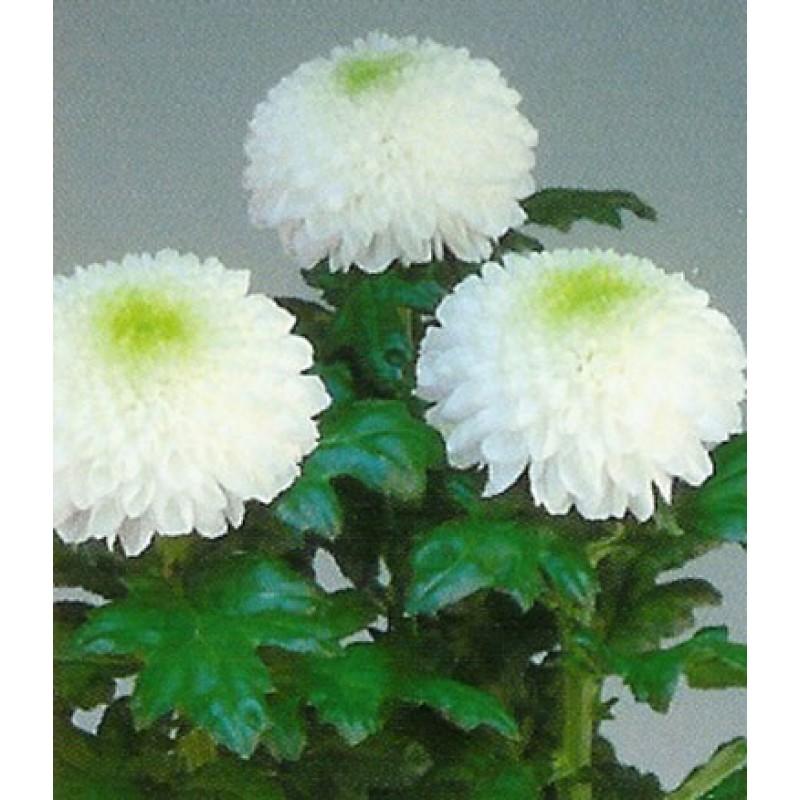 хризантемы фото одноголовые